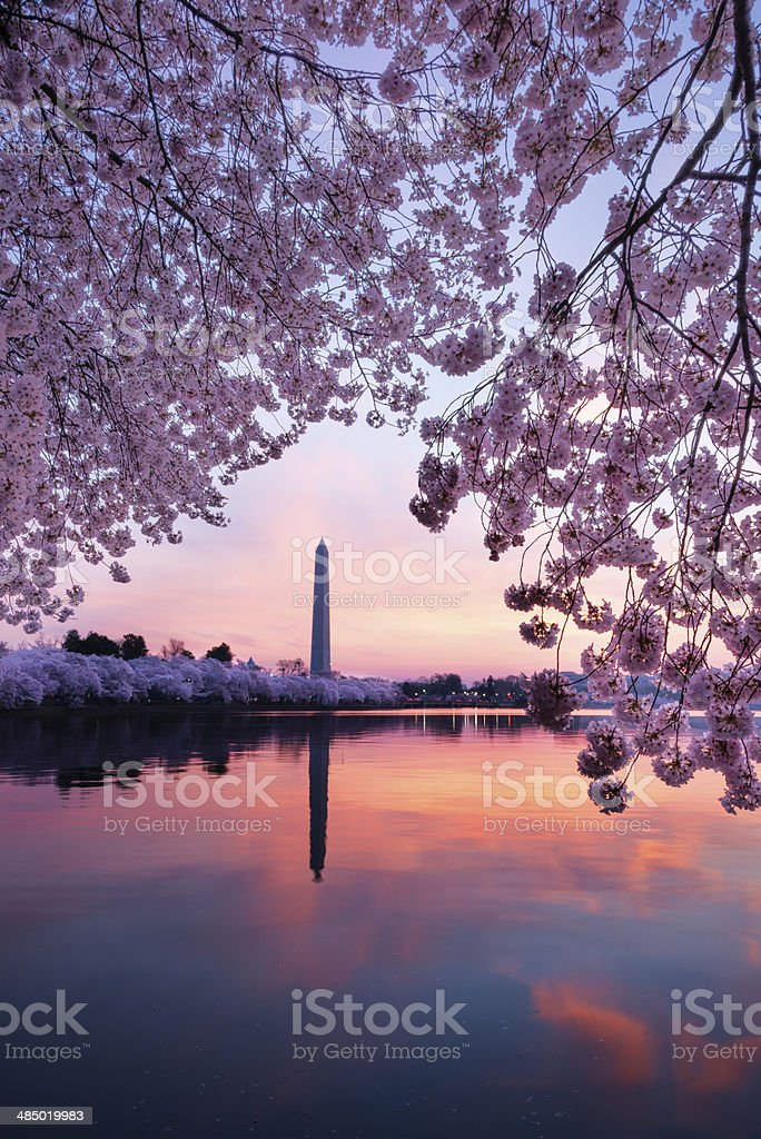Washington monument at sunrise framed by cherry blossoms -XXXL stock photo