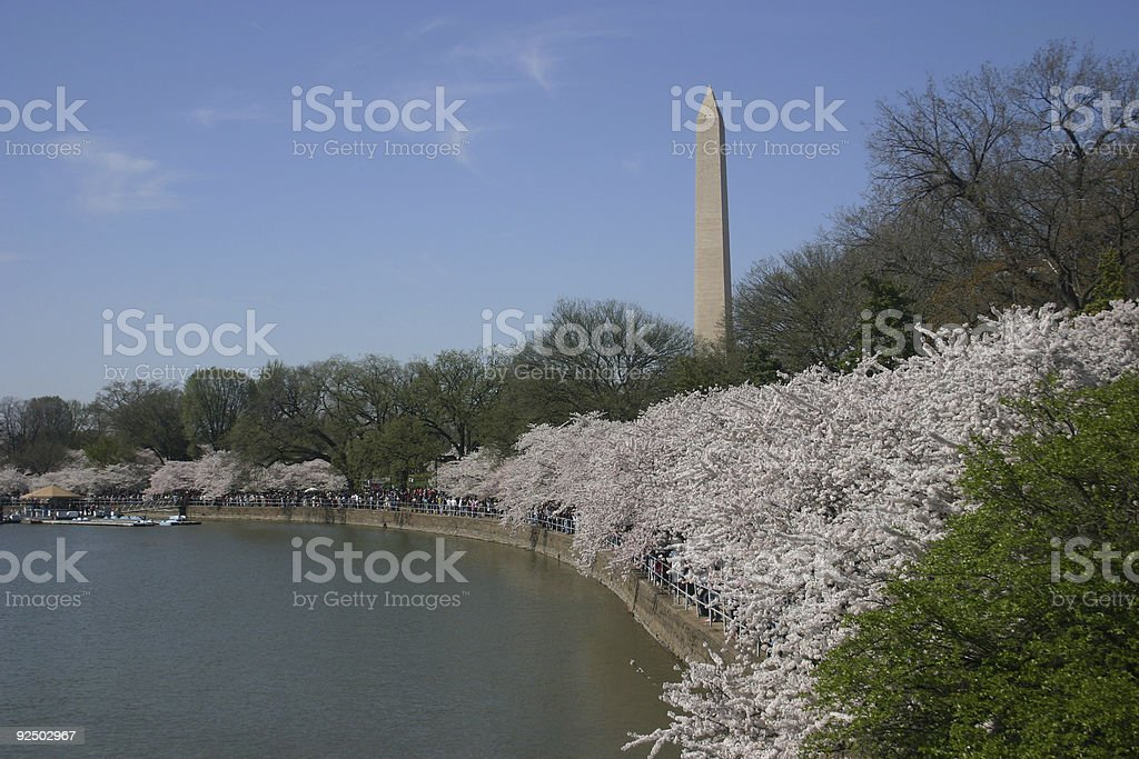 washington monument from tidal basin (with blossoms) stock photo