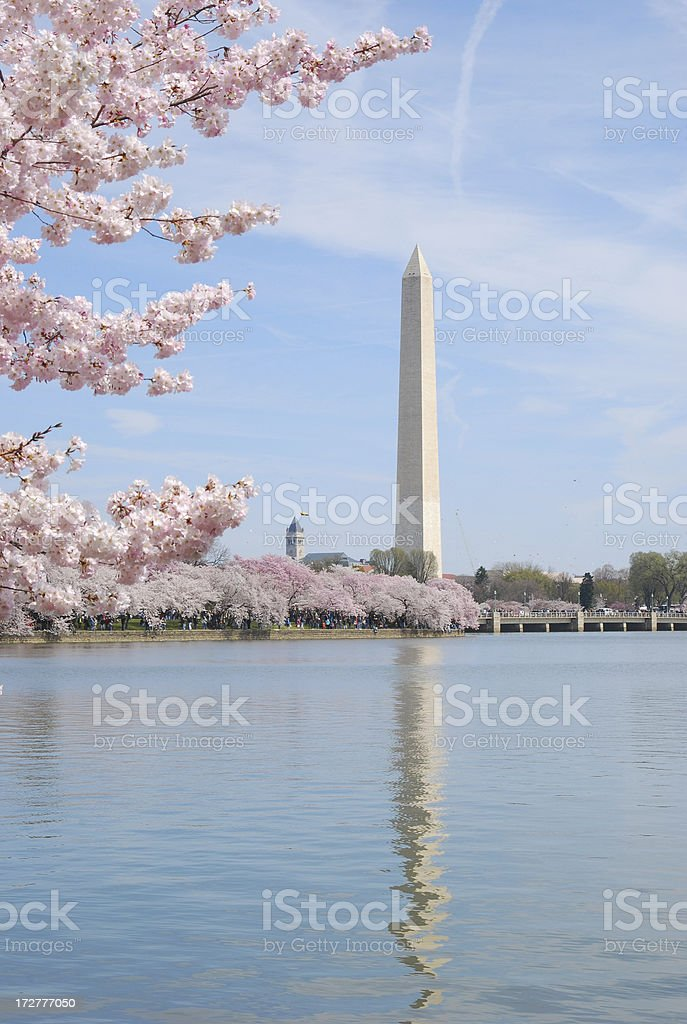 Washington Monument in Cherry Blossom stock photo