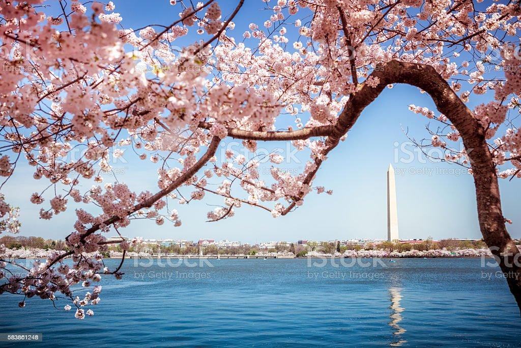 Washington Monument under Cherry Blossom Trees stock photo