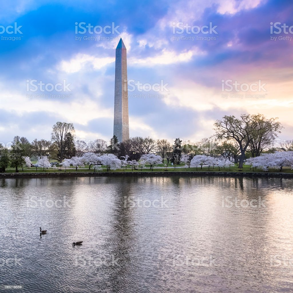 Washington Monument with Cherry Blossoms under Beautiful Sky stock photo