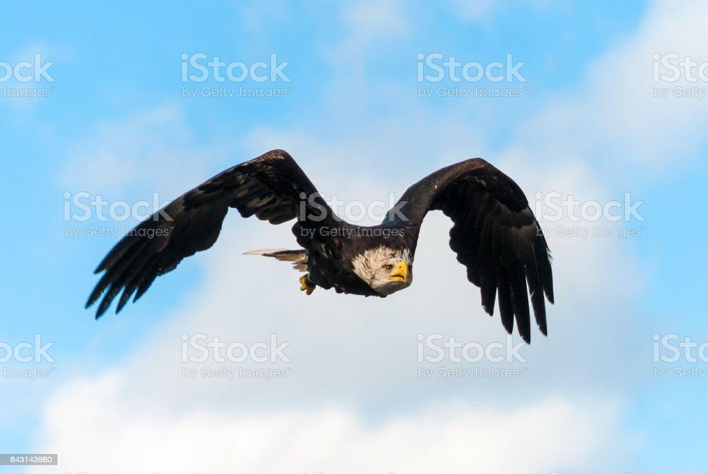 Washington sea eagle spreading wings stock photo