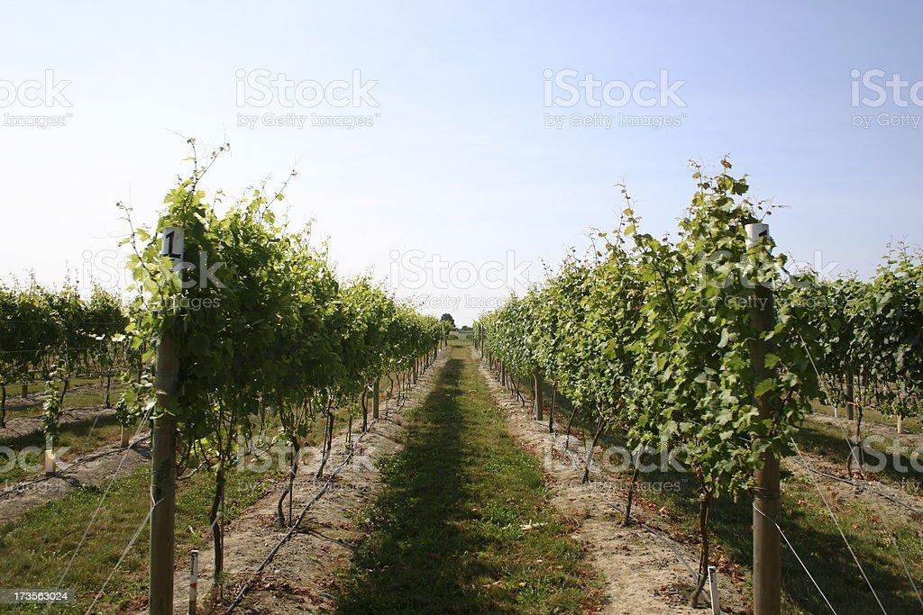 Washington Vineyard royalty-free stock photo