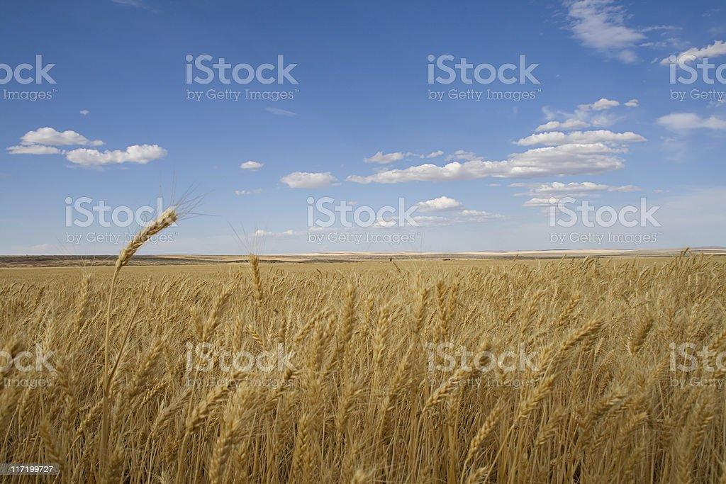 Washington Wheat stock photo