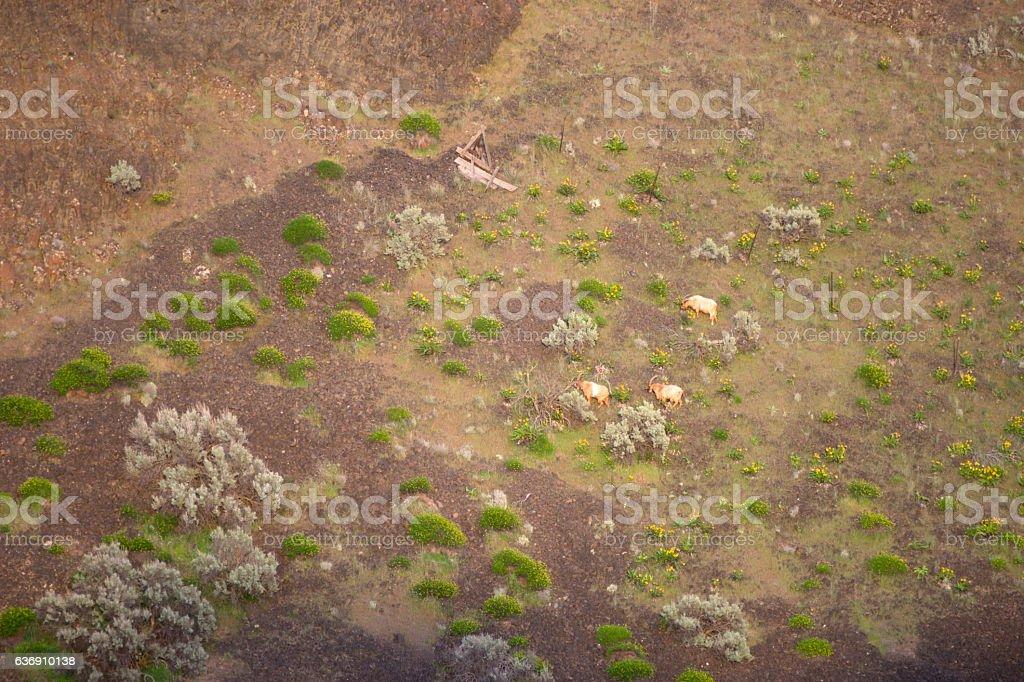 Washinton State Wildlife Mountain Goats Wild Animals Graze stock photo
