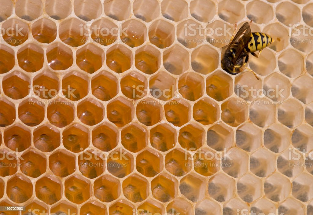 Wasp – a thief stock photo