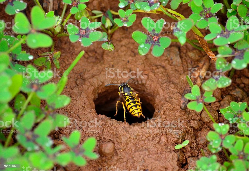 Wasp about to enter in the underground nest stock photo