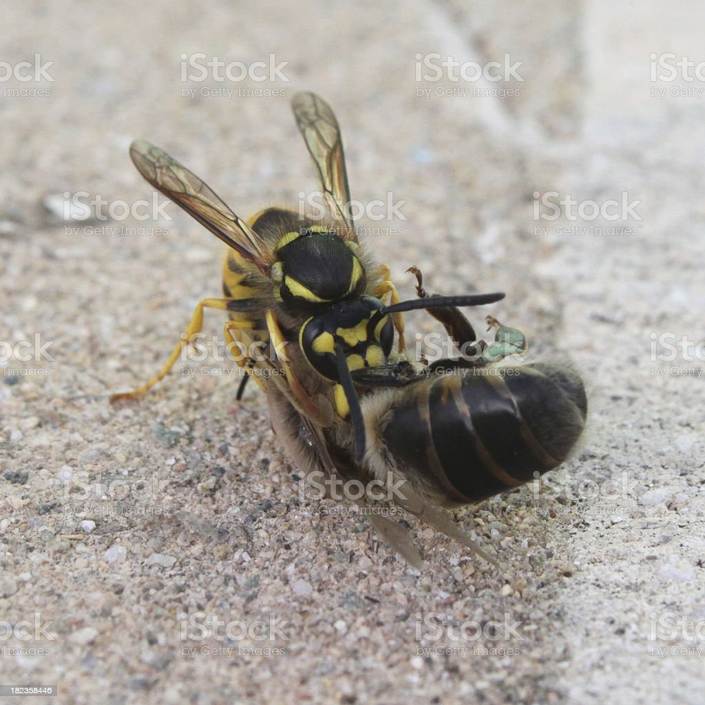 wasp against bee stock photo
