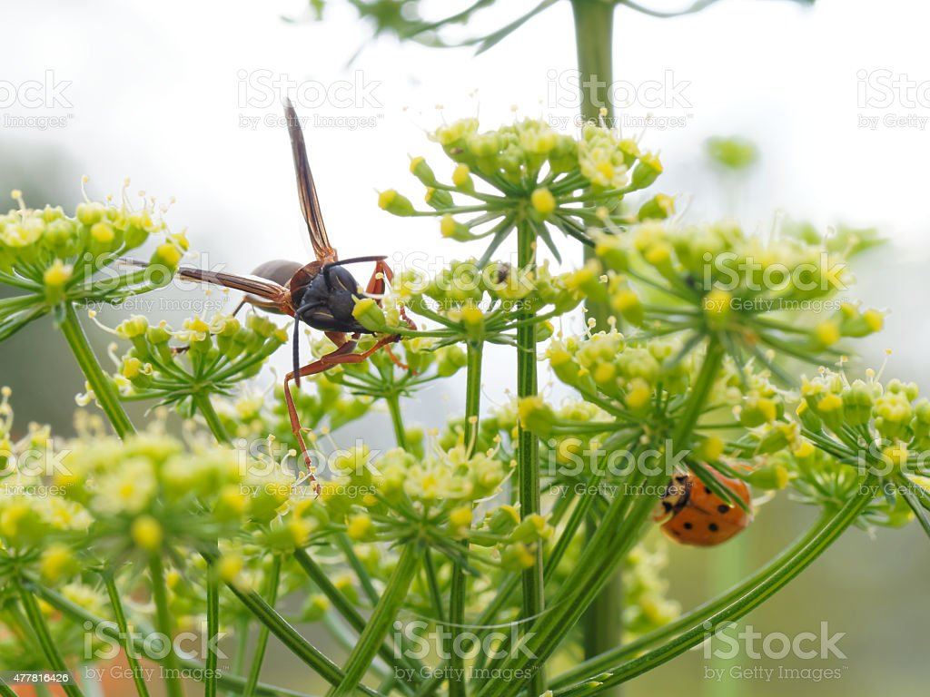 Wasp and a ladybug feeding on small flowers stock photo