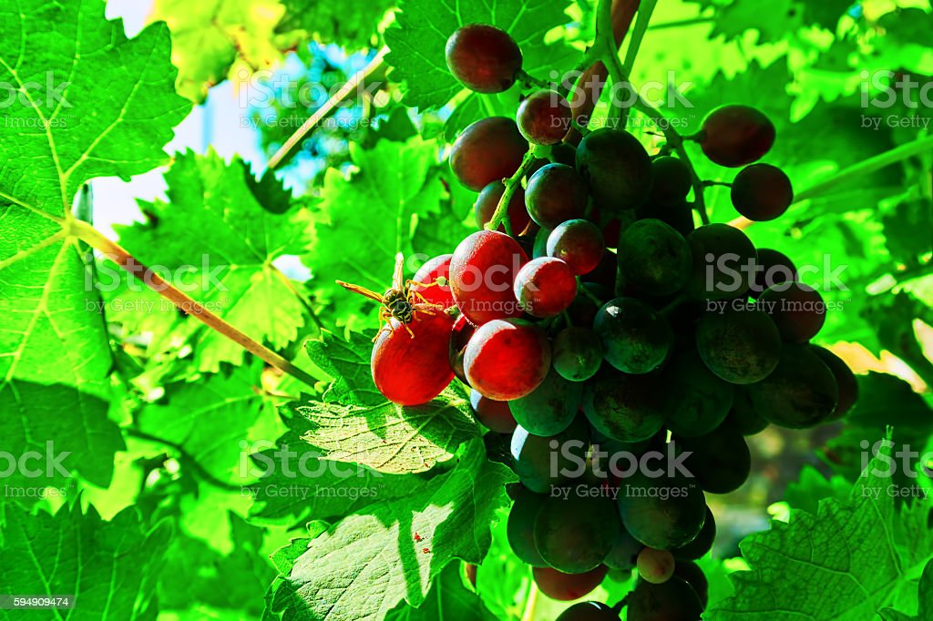 wasp and black grapes royalty-free stock photo