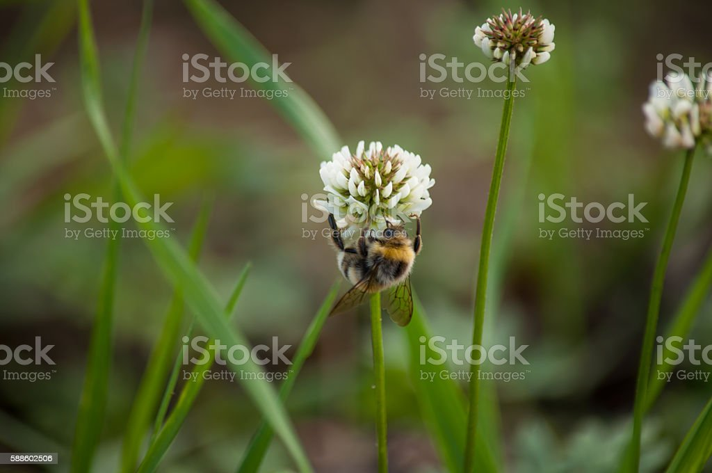 Wasp and flower clover stock photo