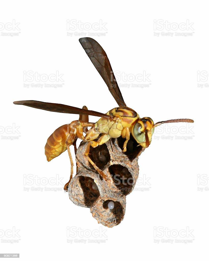 Wasp and Nest Macro (Isolated) stock photo