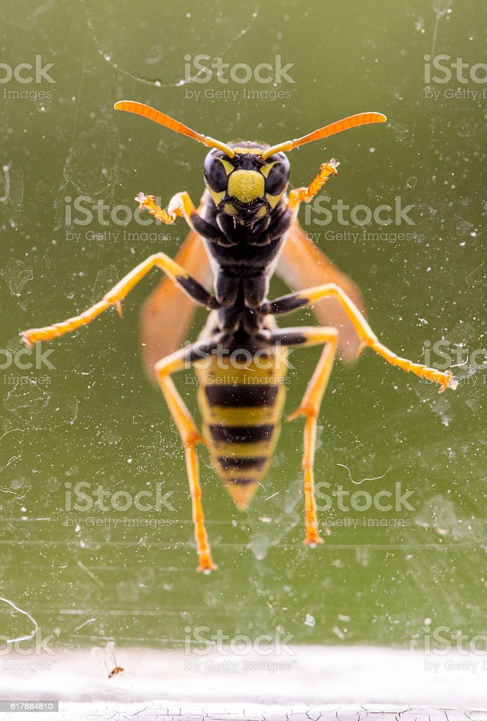wasp at a dirty window stock photo