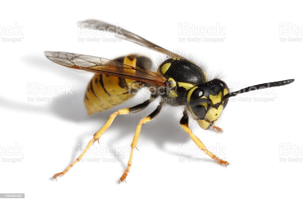 Wasp Attack stock photo