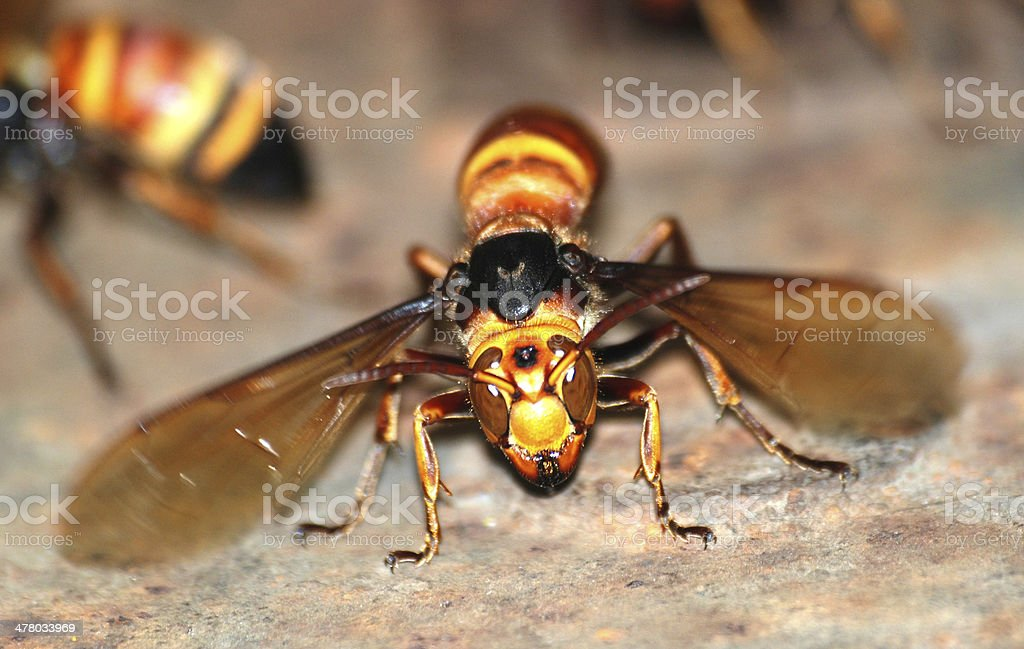 wasp bee macro stock photo
