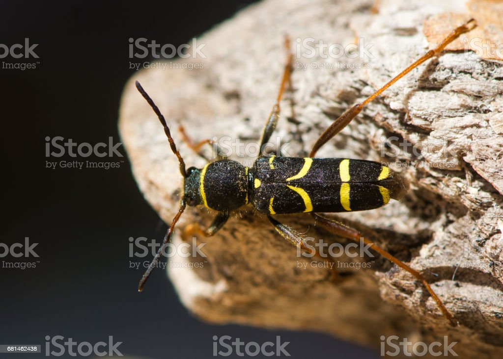 Wasp beetle (Clytus arietis) from above stock photo
