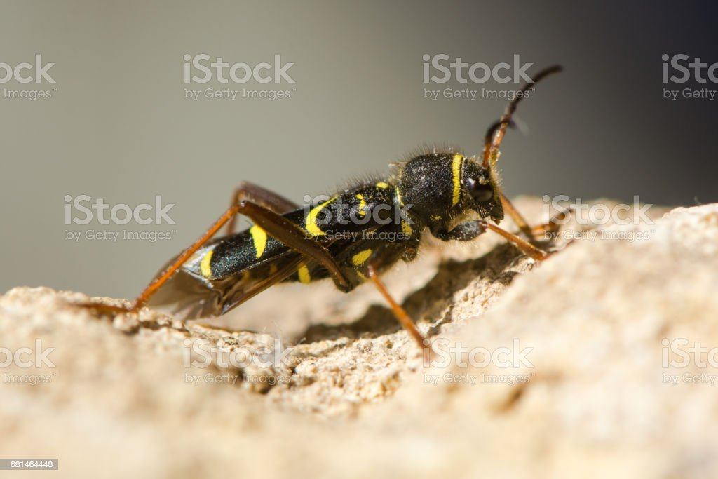 Wasp beetle (Clytus arietis) in profile stock photo