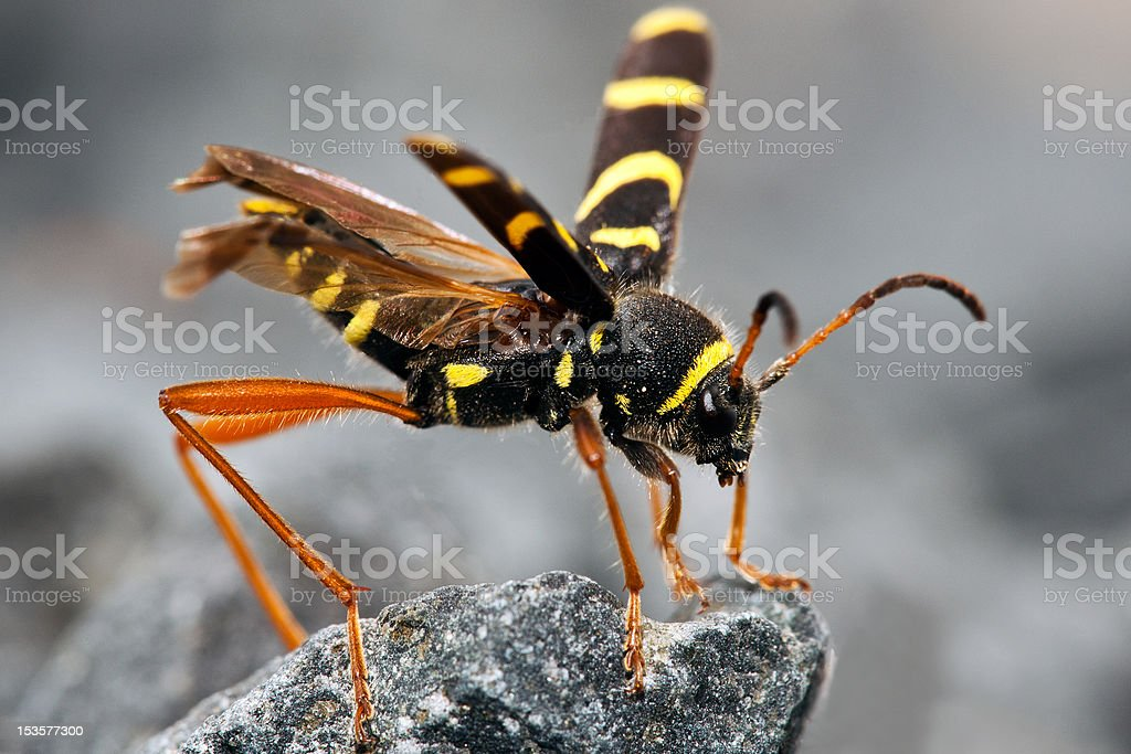 Wasp Beetle on rock royalty-free stock photo