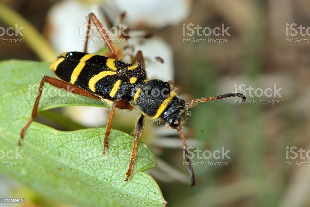 Wasp beetle (Clytus arietis) stock photo