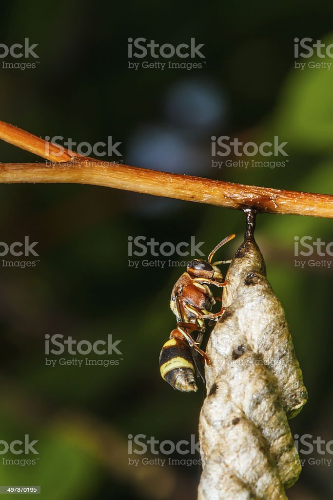 Wasp builds a nest royalty-free stock photo