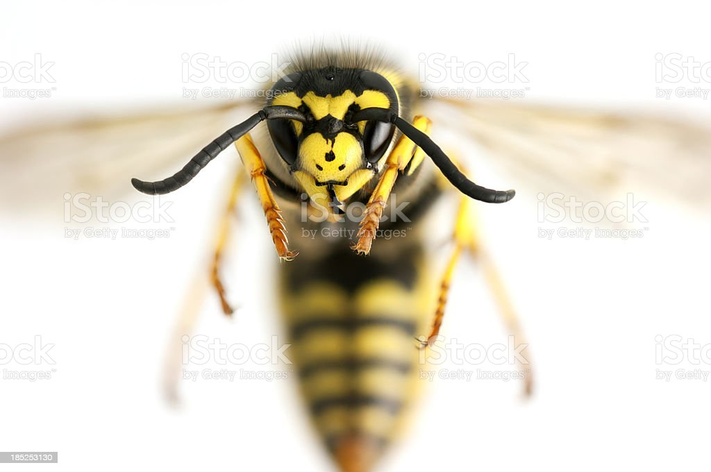 Wasp closeup stock photo