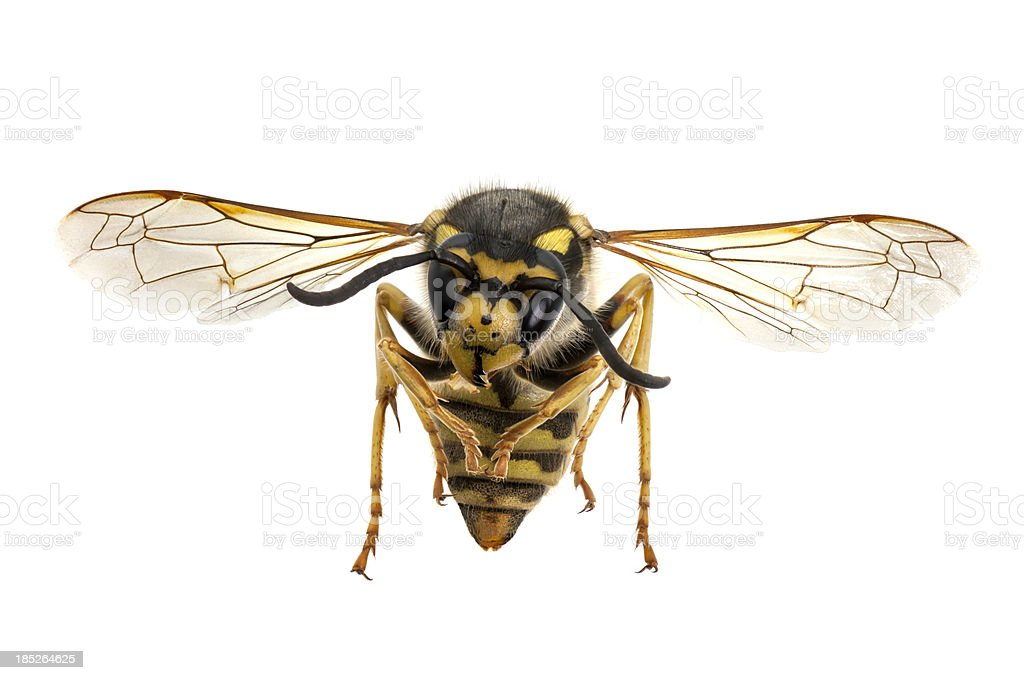 Wasp closeup stock photo