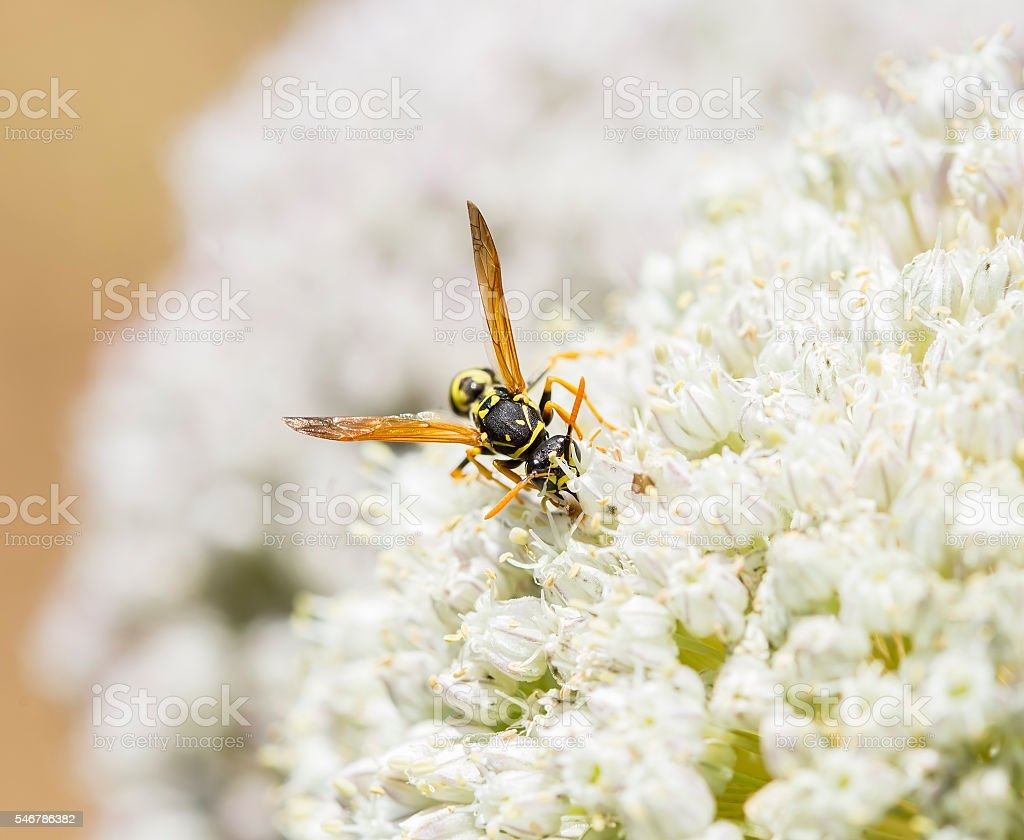 Wasp collecting some plant pollen stock photo