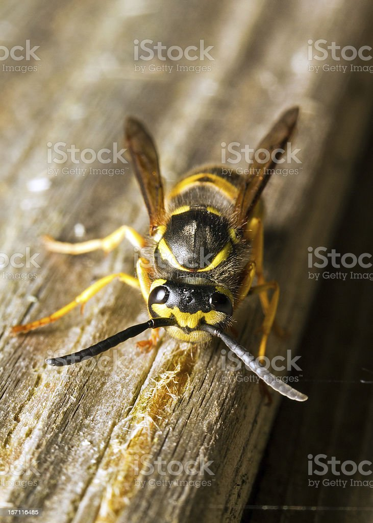 Wasp destroying wood royalty-free stock photo
