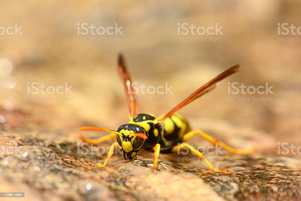 Wasp drinking stock photo