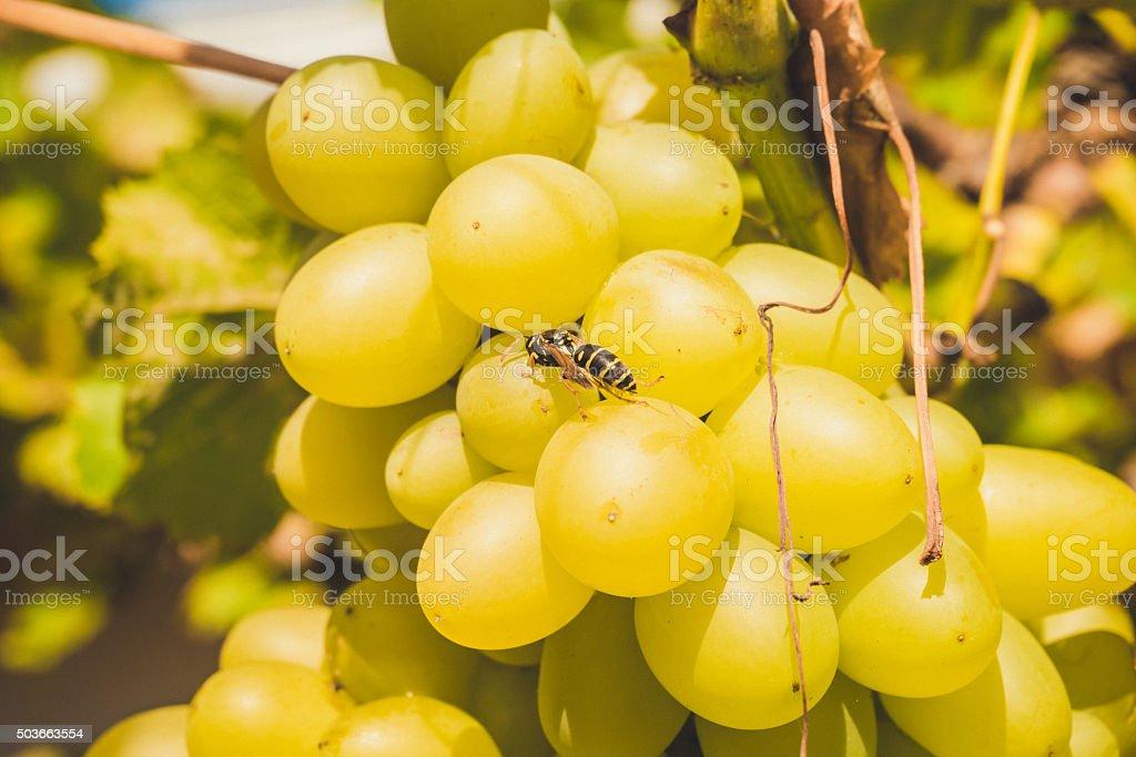 Wasp, drinking sweet grape juice stock photo