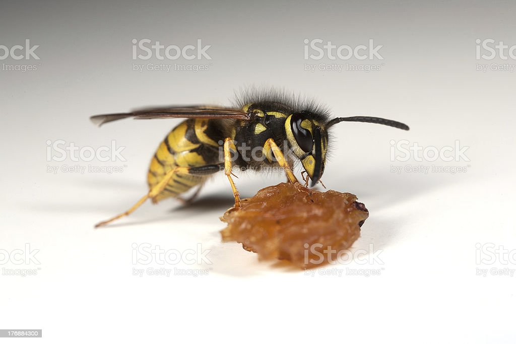 Wasp eating a piece of fruit royalty-free stock photo