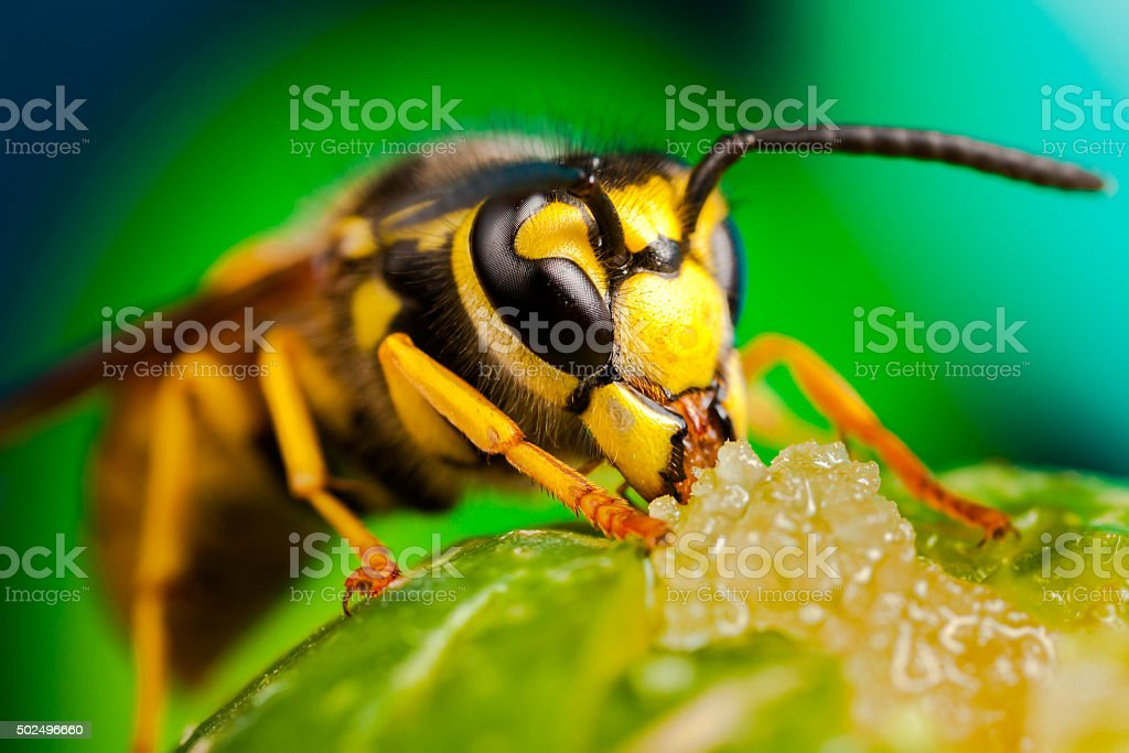 Wasp eating honey stock photo