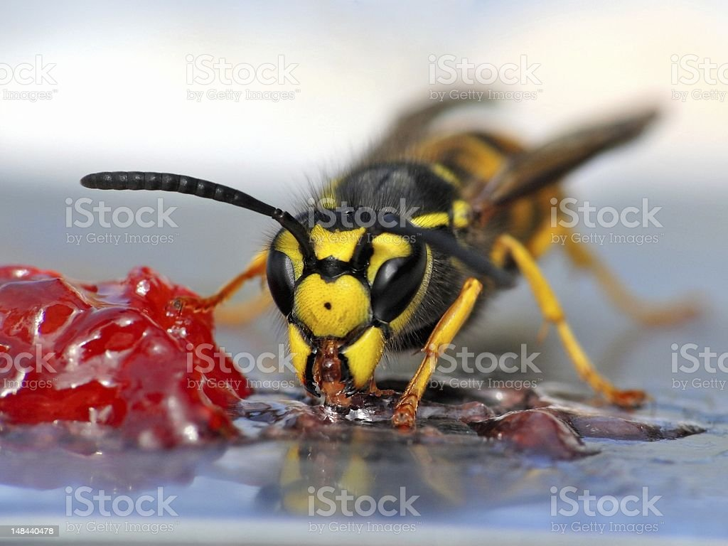Wasp eating jelly stock photo