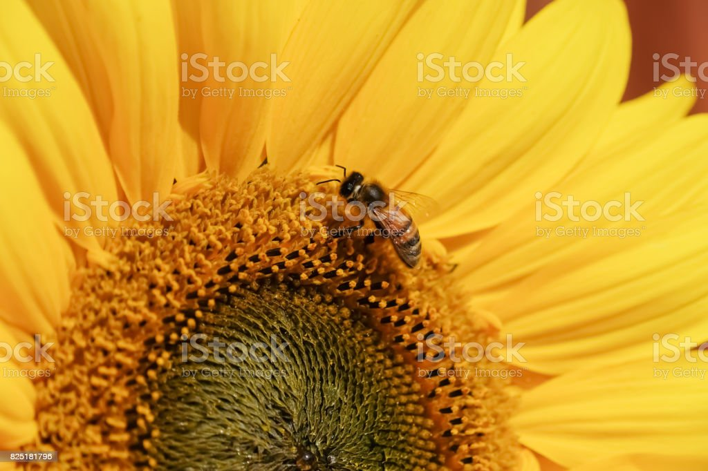 Wasp feeding from a Common Sunflower stock photo
