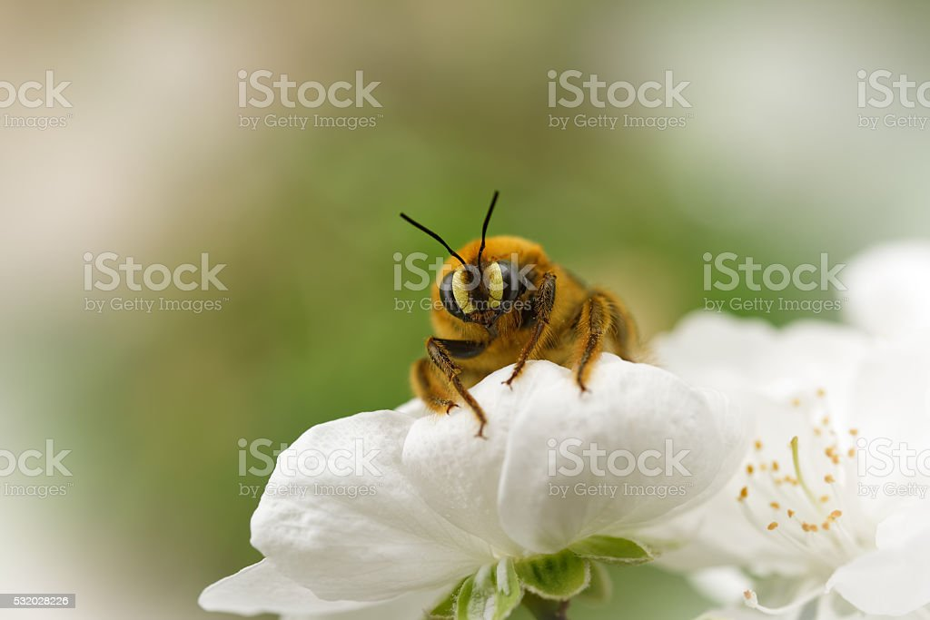 Wasp gather honey among cherry flowers stock photo