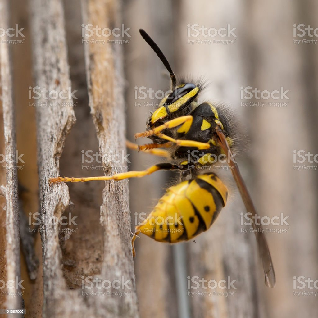Wasp in flight. stock photo