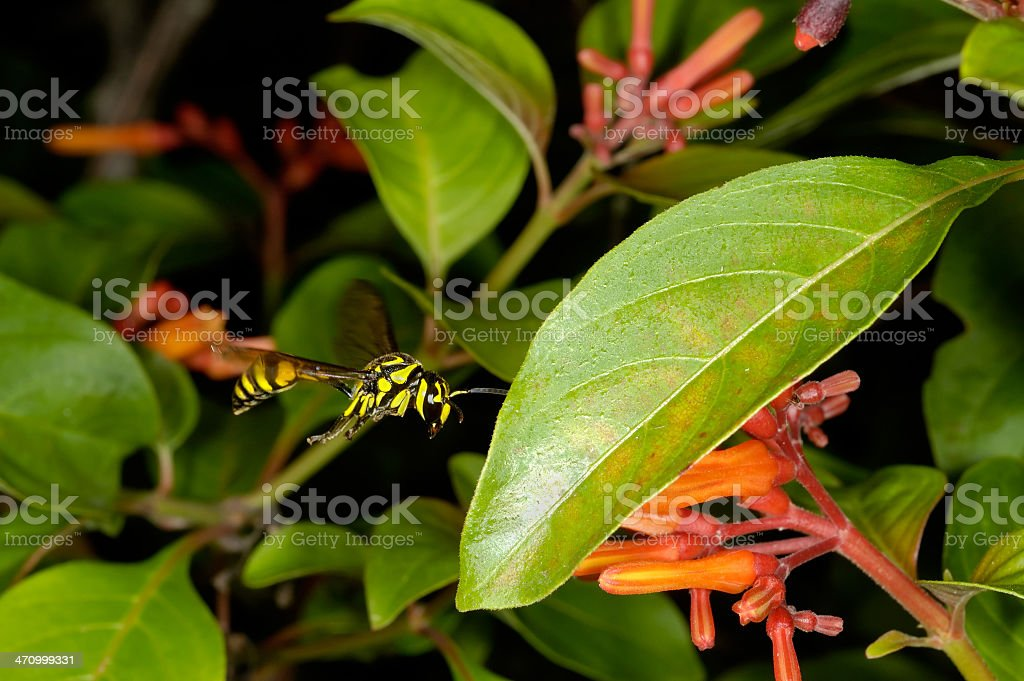 Wasp in flight royalty-free stock photo