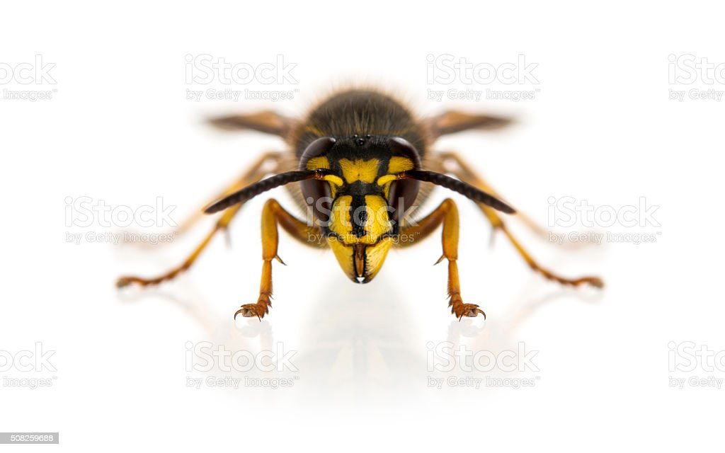 Wasp in front of a white background stock photo