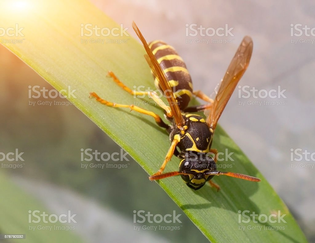 Wasp in the grass close-up. stock photo