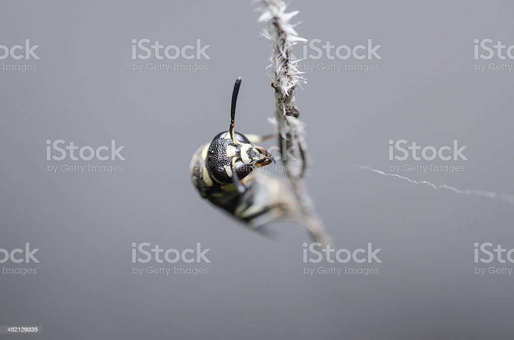 Wasp in the nature royalty-free stock photo