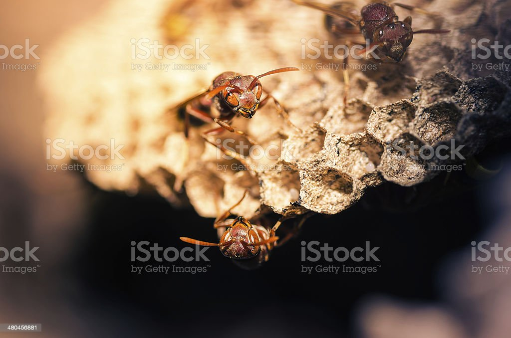 Wasp in the nest royalty-free stock photo