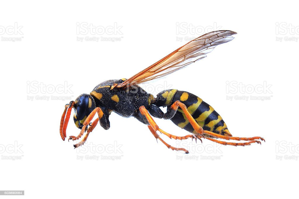 Wasp isolated on white stock photo