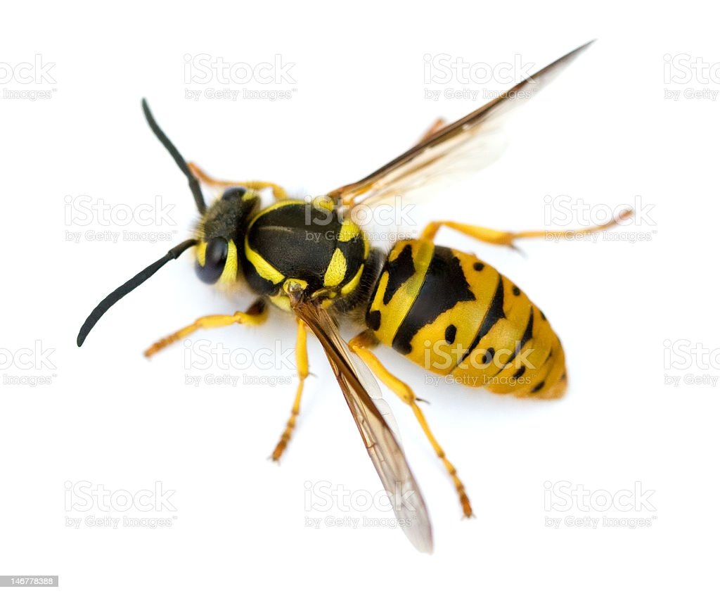 Wasp Isolated stock photo