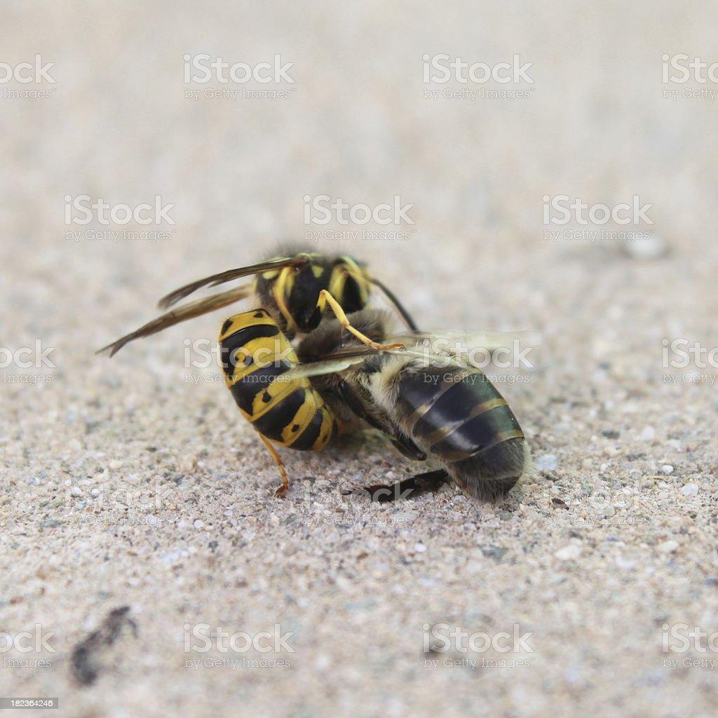 wasp killing bee stock photo
