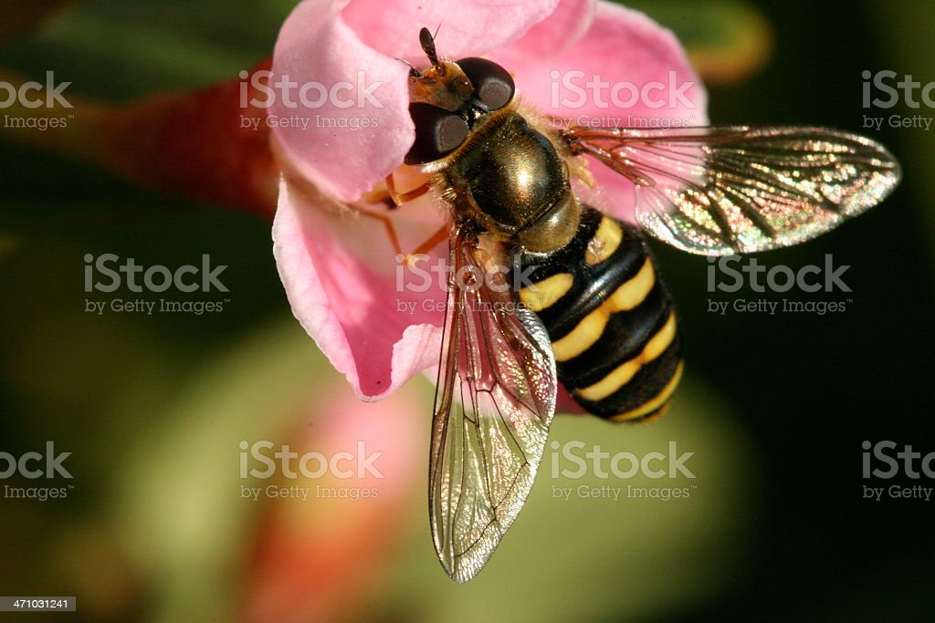 Wasp like hover fly (Syrphus torvus). stock photo