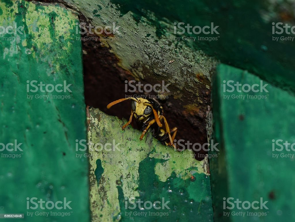 Wasp male peeking out of hiding stock photo