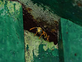 Wasp male peeking out of hiding
