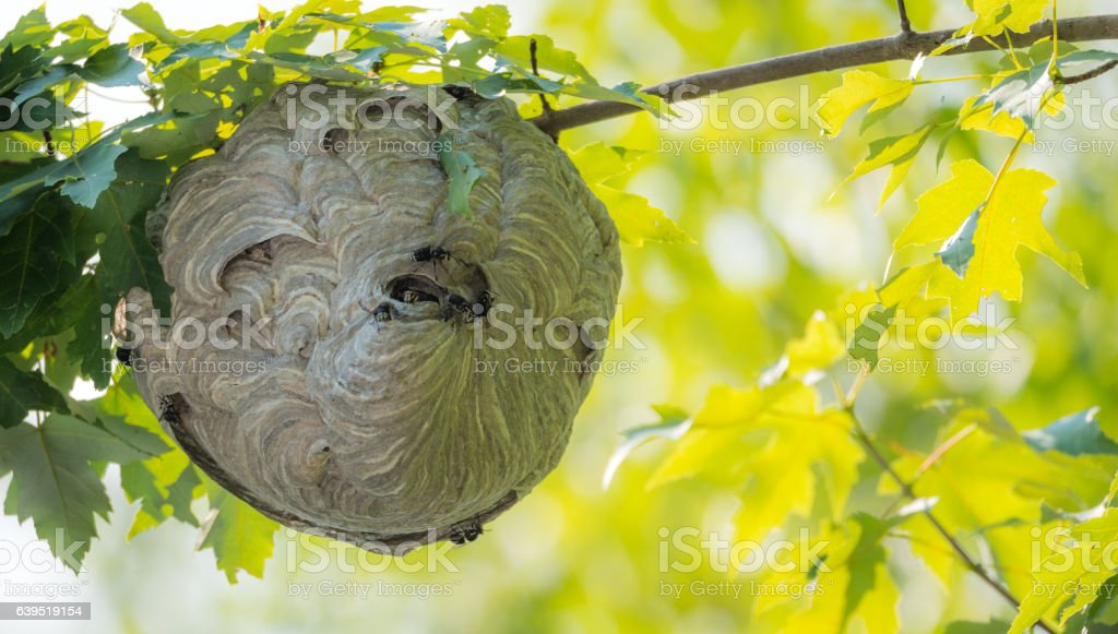 Wasp nest hanging overhead with wasps coming out. stock photo