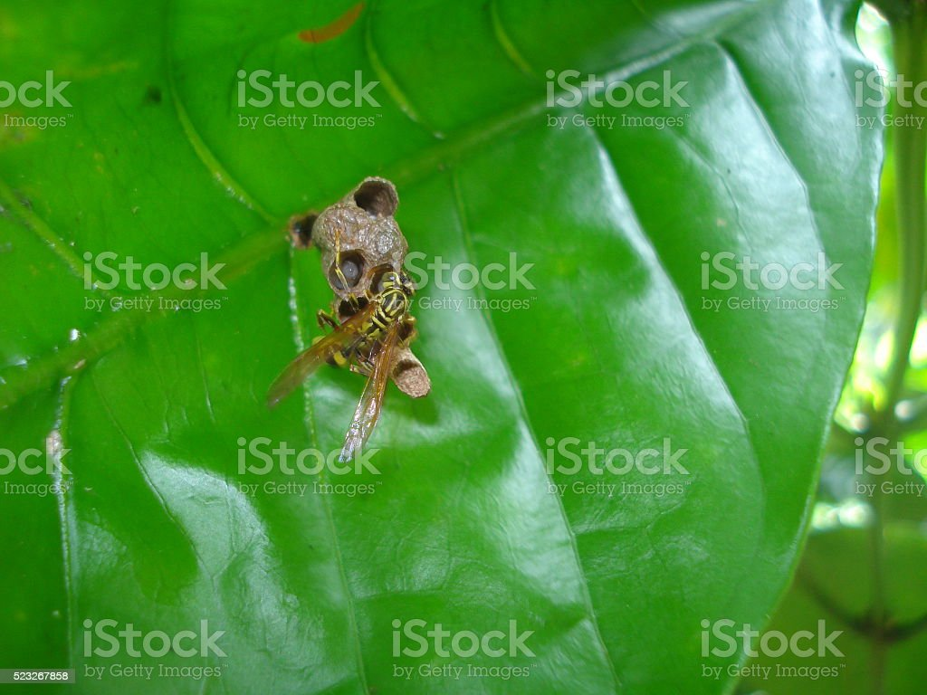 Wasp nest on a leaf stock photo