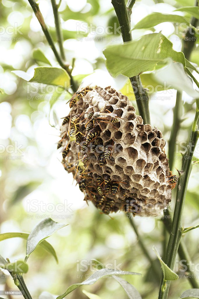 Wasp nest royalty-free stock photo